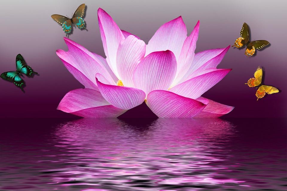 roza barva duše